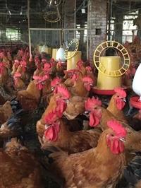 喀什肉鸡苗供应 阿克苏良凤花鸡苗 和田黑鸡苗 库尔勒快大型鸡苗