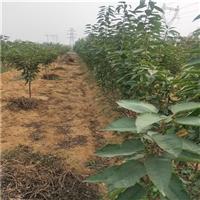 红蜜樱桃树苗;红蜜樱桃树苗价格及品种