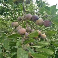 西梅李子苗品种 贵州蜂糖李子苗价格 优质新品种