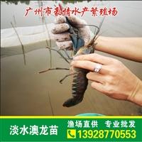 特價包郵龍蝦苗出售 台湾淡水澳龍苗批發報價
