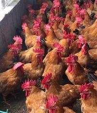 乌鲁木齐鸡苗批发市场 兰州鸡苗价格 青海肉鸡苗 麻黄K9鸡苗供应