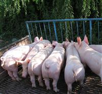 合肥市原种长白母猪价格表 长太母猪价格