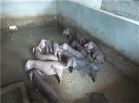鞍山黑母豬價格高產黑母豬銷售