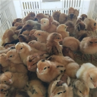 三明817雞苗價格 三明817雞苗多少錢一只 買賣817雞苗我知道