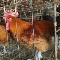 池州817雞苗價格 池州817雞苗多少錢一只 買賣817雞苗我知道