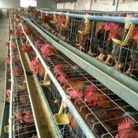 鶴壁紅玉雞苗價格 鶴壁紅玉雞苗多少錢一只 買賣紅玉雞苗我知道