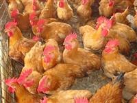 快大三黄鸡苗 那里有三黄鸡苗 三黄鸡苗多少钱一只 三黄鸡苗批发