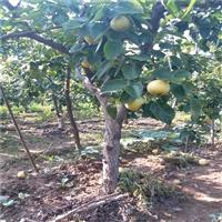 晚秋黄梨树苗多少钱一棵 梨树苗新品种繁育基地