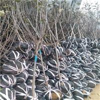 晚秋黄梨树苗哪里有卖的 3公分梨树苗自家出售