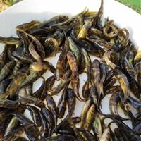 生態養殖黃骨魚苗批發 特優黃顙魚苗健康易養 效益好