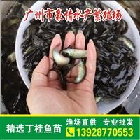 台湾丁桂魚苗供應基地 清遠丁桂苗批發價格 豪情魚苗