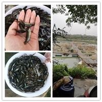漁場直銷丁桂魚苗 清遠丁桂苗批發供應