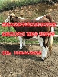 浙江省哪里有肉牛養殖場 品牌牛青年母牛價格
