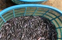 潛江市本地塘鯴魚苗多少錢