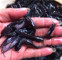 台湾本地塘鯴魚苗,三黃本地塘角魚苗,三黃塘虱魚苗