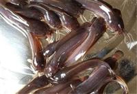 天門市三黃塘角魚苗市場批發