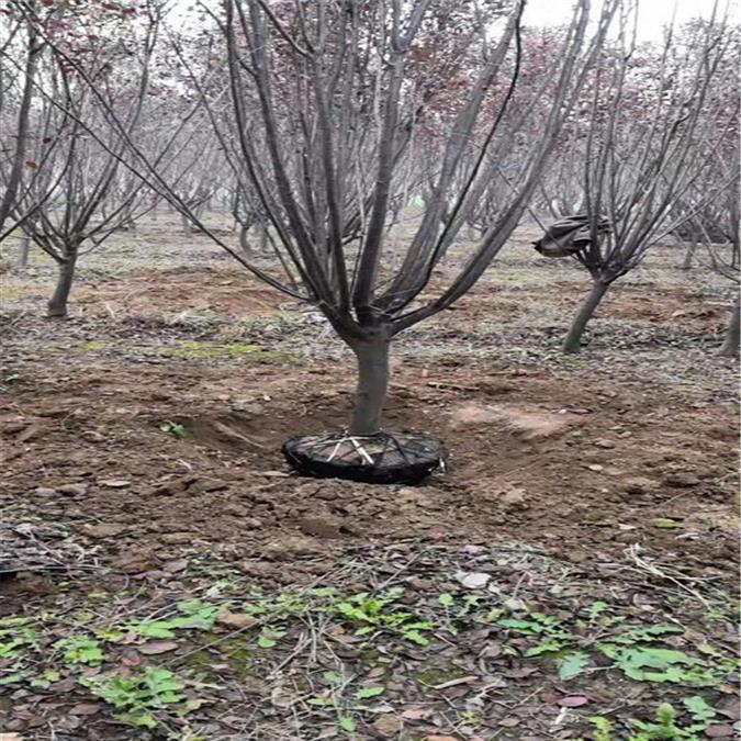 紫叶李种植 红叶李种植基地 欢迎来电洽谈图片