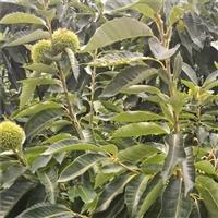 四川高度1.5米板栗苗哪里能买到