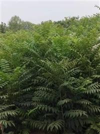歡迎:大量出售2年香椿苗2公分香椿苗種植技術