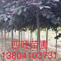 東北遼寧供應 紫葉稠李 1-8公分價格優惠量大優惠
