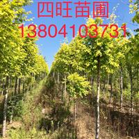 東北遼寧供應 金葉榆 1-8公分價格優惠量大詳談