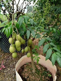 太平洋橄榄苗 橄榄苗批发