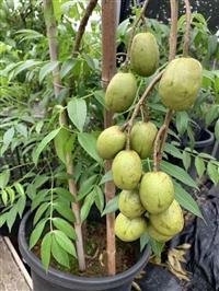 太平洋橄榄苗 橄榄苗报价