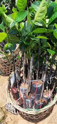 泰国红肉菠萝蜜苗 泰国红心菠萝蜜苗 红肉菠萝蜜袋苗