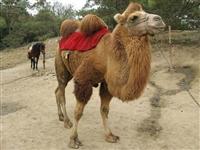 出售成年骑乘骆驼 正和骆驼养殖场 出售双峰骆驼