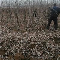 磨盘山楂苗哪里有卖、甜红子山楂苗多少钱一棵