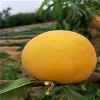 黄金蜜1号桃树苗出售-油蟠桃树苗接穗整形修剪