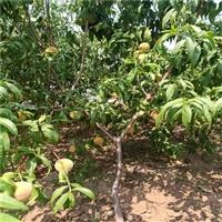 黄金蜜1号桃树苗自家出售-中蟠17号桃树苗亩栽植多少棵