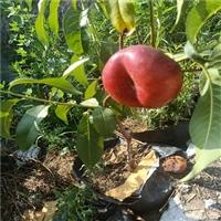 中油8号桃树苗价格-秋彤桃树苗亩栽植多少棵