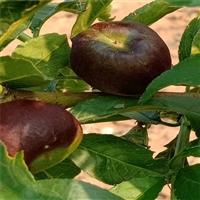 川中島桃樹苗新品種-油蟠5號桃樹苗整形修剪