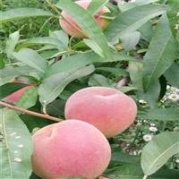 中华寿桃树苗成熟期-中华寿桃树苗亩栽植多少棵