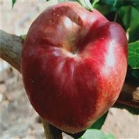 秋丽桃树苗哪里批发-油蟠桃树苗接穗整形修剪