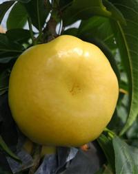 黄桃树苗销售基地-油蟠7桃树苗肥水管理