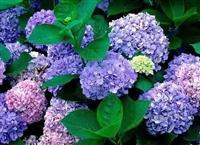 八仙花的种植技巧 八仙花苗木 八仙花价格
