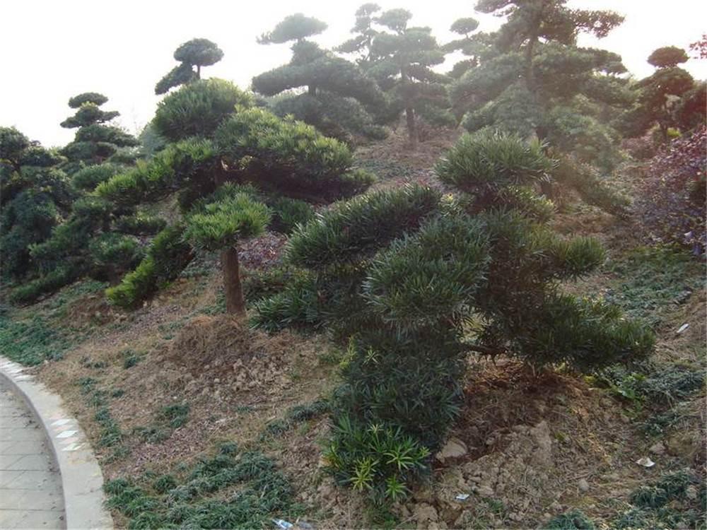 10-15公分造型罗汉松 罗汉松造型树价格
