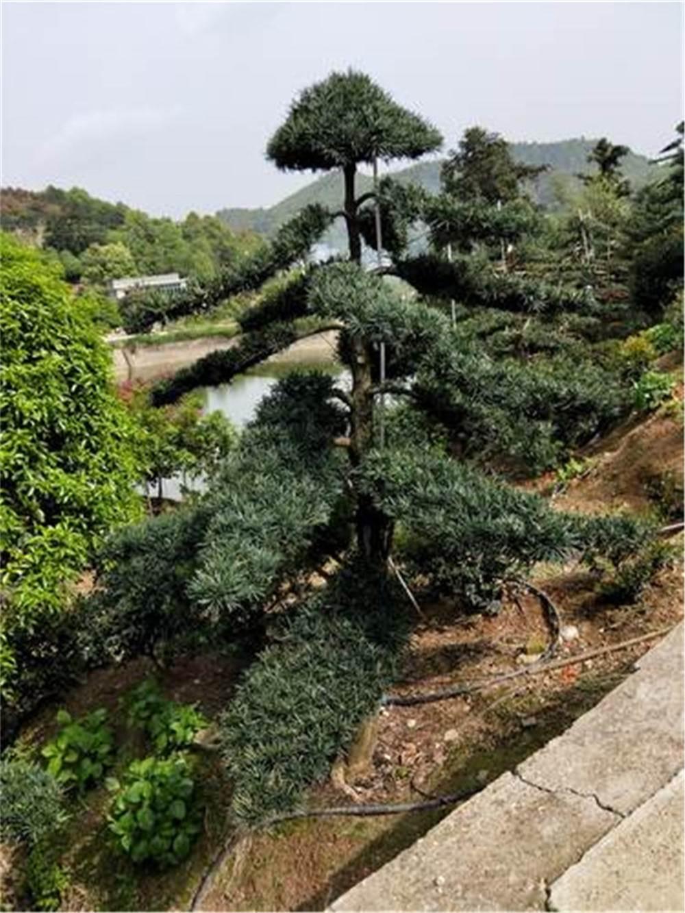 10-15公分造型罗汉松 庭院景观造型罗汉松湖南产地供应