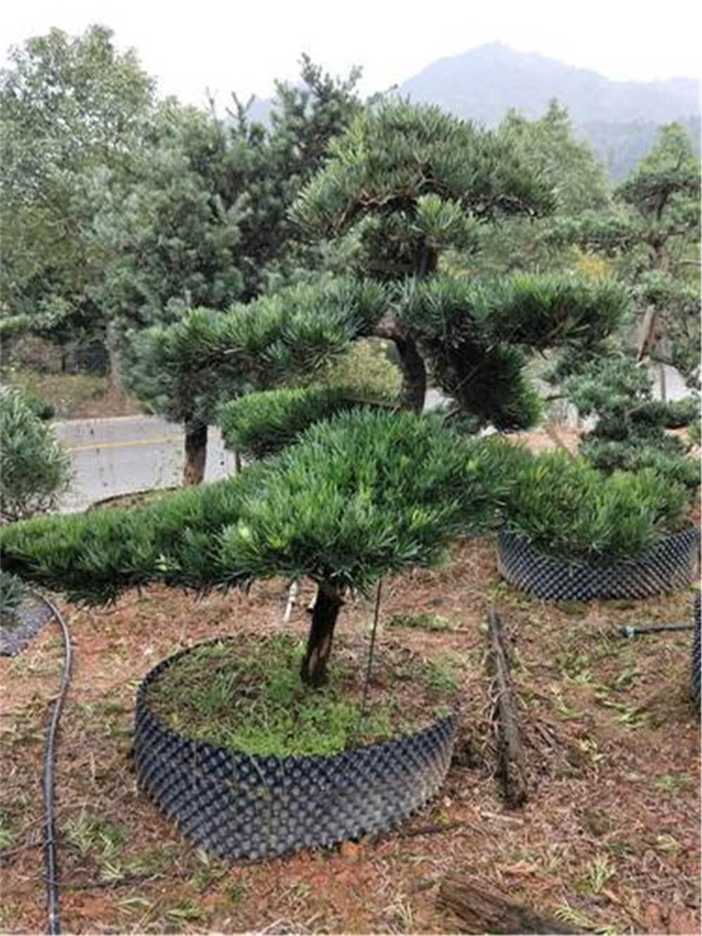 10-15公分造型罗汉松 罗汉松造型树湖南产地供应