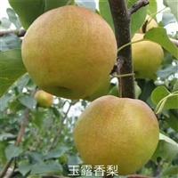 早酥红梨树苗哪里有卖的-嫁接梨树苗基地
