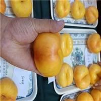 桃树苗哪里有-黄金脆桃树苗批发价格-不软果桃树苗哪里卖