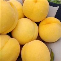 桃树苗哪里有卖的-水蜜桃树苗批发价格-哪里卖嫁接桃树苗