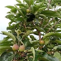 嫁接苹果树苗哪里有-红星苹果苗哪里出售-1公分苹果苗