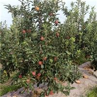 哪里批发苹果树苗-黑钻苹果树苗批发价格、2公分苹果树苗