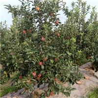 苹果树苗哪里有卖的、烟富0号苹果苗哪里出售-1公分苹果苗