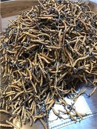 夏园冬虫夏草回收多少钱一斤