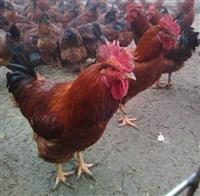 優質紅玉雞苗多少錢,380雞苗價格,380雞苗批發,土雜雞苗