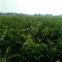 大量供应秋红李子苗-李子苗好品种哪里批发